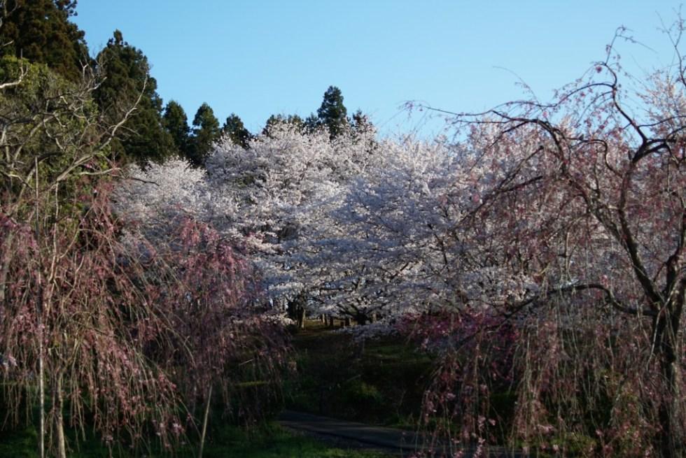 青梅 安楽寺 桜