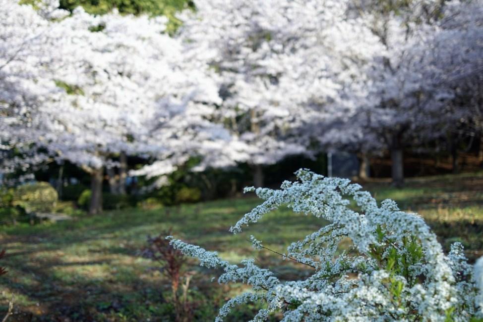 青梅 安楽寺 ユキヤナギと桜