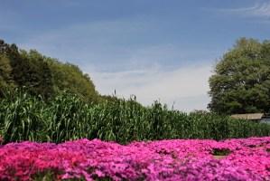 狭山丘陵の芝桜