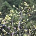 栗の木 若葉