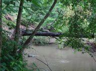 Des arbres vieux de 250 ans se sont écroulés à cause des violentes tempêtes ces derniers temps.JPG