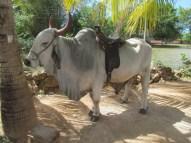 Un taureau sur une ferme des alentours de Morón.