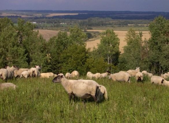 Des moutons broutant à Temiskaming.