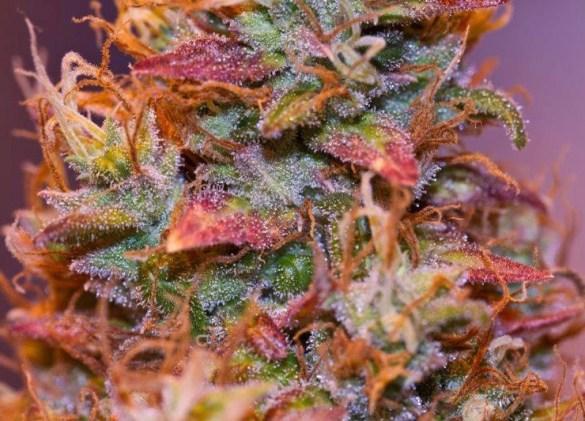 «La plante, la fleur, ça sent bon sans bon sens. C'est beau comme un arbre de noël.» (Marijuana Photos)