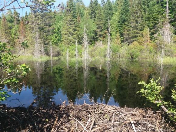 Un barrage de castors