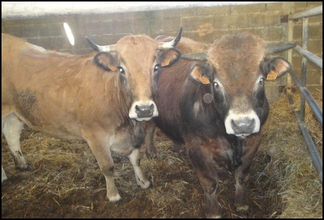 Bols Tibétains et Vaches, Apaisement général et communication animale.