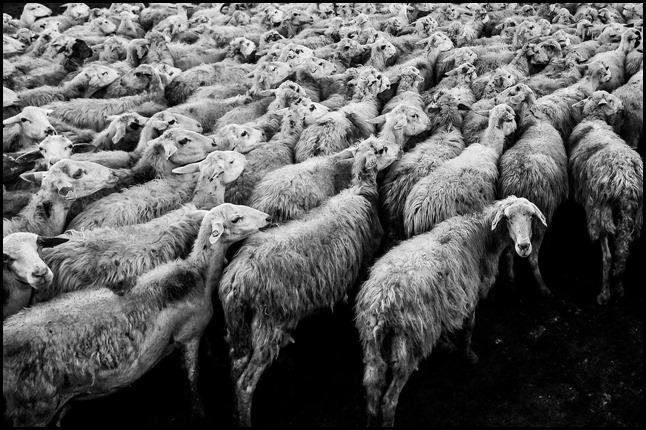 brebis,moutons,suivre, observer,egregore