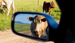 Car damaged by licking cows?