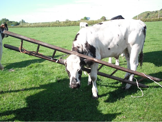 001Cow-in-ladder