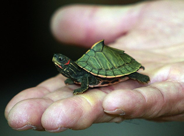 An Indian roofed turtle stands in the hand of a Thai custom official during a news conference at custom office in Bangkok,Thailand, Thursday, June 2, 2011. Thai customs authorities say 431 turtles and