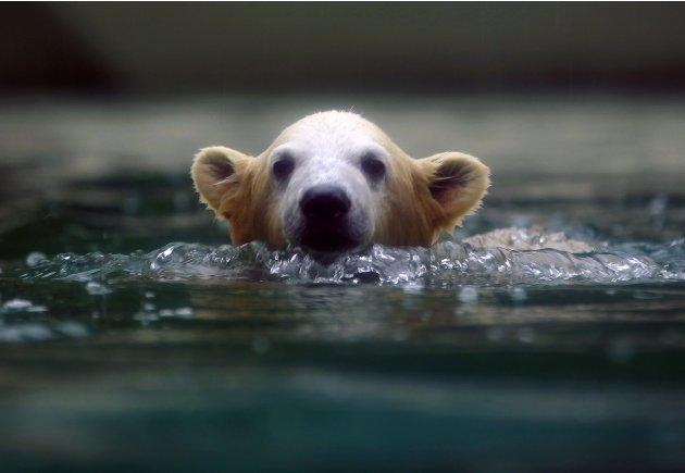 Polar bear cub Anori swims …