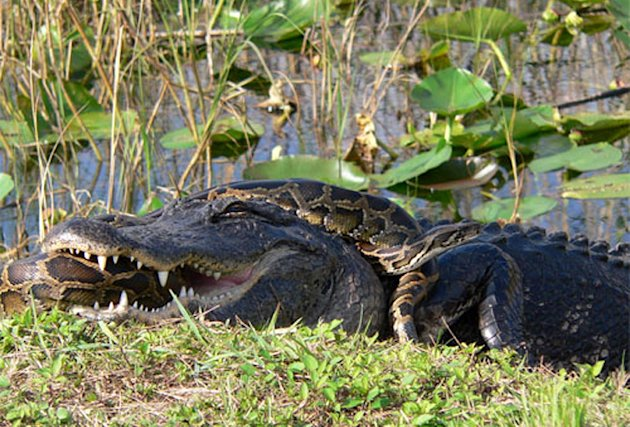 In this 2009 photo provided by the National Park Service, a Burmese python is wrapped around an American alligator in Everglades National Park, Fla. The National Academy of Science report released Mon