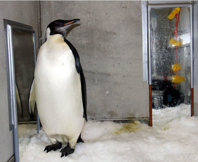 """In this Aug. 28, 2011 photo released by China's Xinhua News Agency, emperor penguin """"Happy Feet"""" is seen in his room at Wellington Zoo's hospital, New Zealand.  The emperor penguin has been booked ont"""