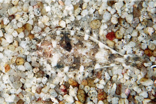 Una especie de lenguado mezclado con las piedras del fondo amrino. Foto: KEL-24 / ARDEA / CATERS NEWS