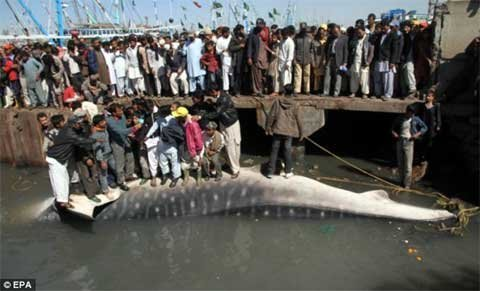 Cá mập voi, một loài khổng…