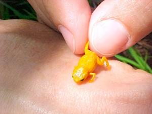 Squee! New Absurdly Tiny Frogs Found in Brazil
