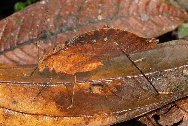 """Una especie de la familia de los grillos, conocida como """"Leaf Katydid"""", se disfraza de hoja en la reserva de San Cipriano, en Colombia. Foto: Thomas Marent / ARDEA / CATERS NEWS"""