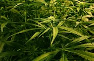Seven men and a woman have been arrested following a seizure of cannabis