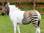 Eclyse, a crossbreed between a zebra and a horse, standing in an enclosure at the zoo Safaripark Stukenbrock.(AFP/HO)