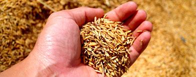 Incorporar el arroz y otros granos integrales a la dieta diaria ayuda a prevenir una peligrosa enfermedad. (Thinkstock)