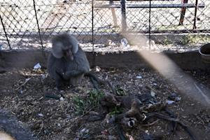 A Hamadryas baboon (L) looks at the carcass of another…