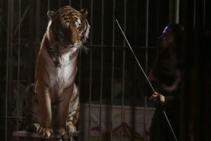 A trainer stands next to a tiger during a show at the …