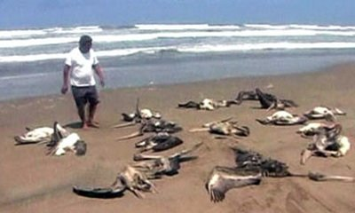 Mystery As Hundreds Of Pelicans Die In Peru