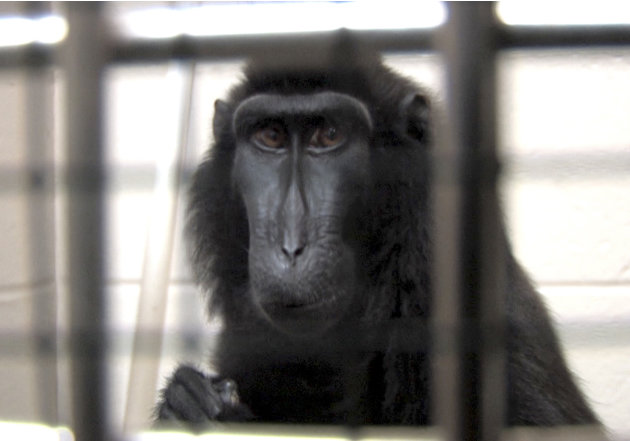 This is a handout photo from the Columbus Zoo and Aquarium of one of two macaques that were captured by authorities Wednesday, Oct. 19, 2011, a day after their owned released dozens of wild animals an
