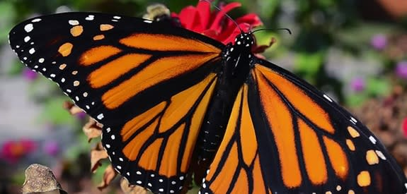 Monarch Butterflies Considered for Endangered Species Status