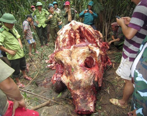 This picture taken on April 3, 2013 shows rangers and local residents looking at the body of a newly killed female elephant in a forest in Minh Hoa district, in the central Vietnam province of Quang Binh. According to local media, the skin, tail, two tusks and two ears of the elephant had been removed from its body