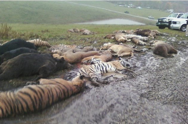 In this photo obtained by the Associated Press, carcasses lay on the ground at the Muskingum County Animal Farm Wednesday, Oct. 19, 2011, in Zanesville, Ohio. Sheriff's deputies shot 48 animals , incl