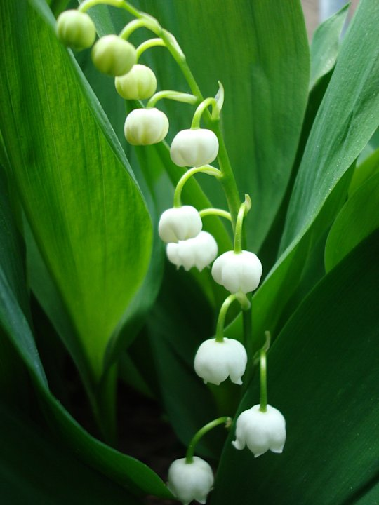 A dozen of the deadliest garden plants lily of the valley