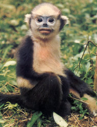 FILE - In this undated file photo released by Conservation International, a Tonkin snub-nosed monkey sits on the ground at an unknown location. Twenty-five species of monkeys, langurs, lemurs and gorillas are on the brink of extinction and need global action to protect them from increasing deforestation and illegal trafficking, researchers said Monday, Oct. 15, 2012. (AP Photo/Conservation International, Tilo Nadler, File) EDITORIAL USE ONLY