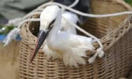 Stork Held In Egypt On Suspicion Of Spying