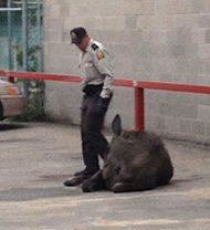 An officer stands near a moose that was tranquilized after it wandered into a parking lot on Albert Street and 13th Avenue on Saturday evening.