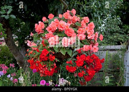 Pink Begonia Flowers Stock Photo 226462988 Alamy