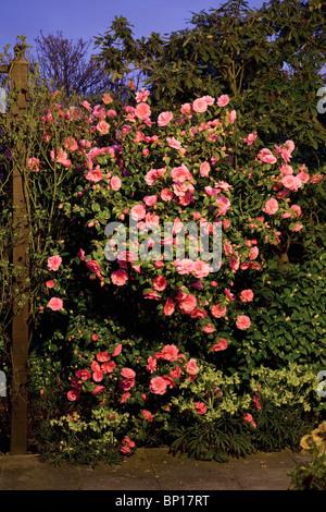 Thorny Bush With Pink Flowers Stock Photo 185351540 Alamy