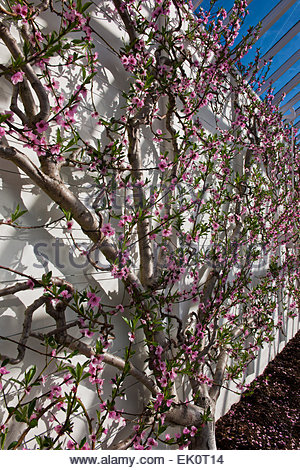Image result for fan trained peach tree bloom