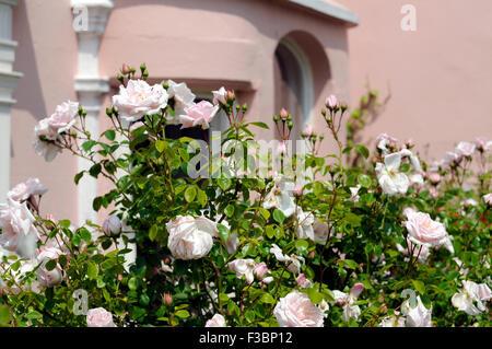 Rose Peace Flower In Full Bloom Stock Photo 333900920 Alamy