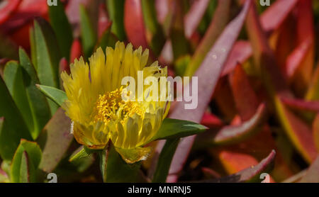 The Green And Yellow Leaves Of A Succulent Plant On Tobago