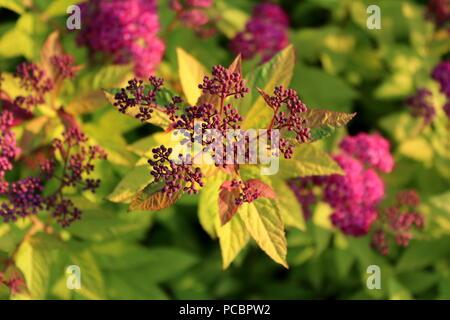 Spiraea Bumalda Stock Photo 216621739 Alamy