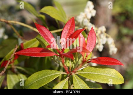 Fleurs Et Feuilles Nouvelles Rouge De Pieris Formosa Forestii