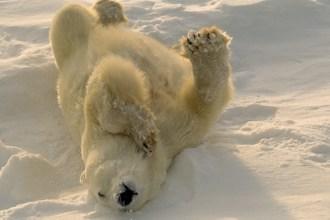Ein Eisbär | Foto: © outdoorsman - Fotolia.com
