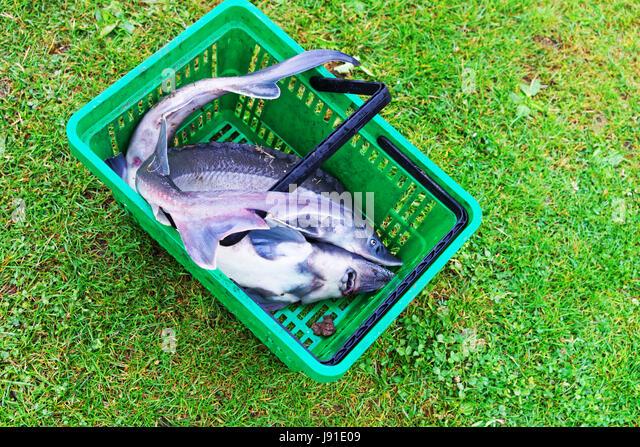 Fisherman Sturgeon Stock Photos Amp Fisherman Sturgeon Stock