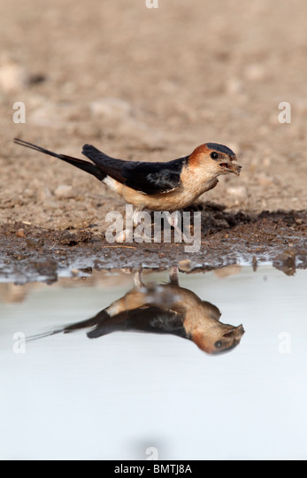 Image result for red rumped swallow