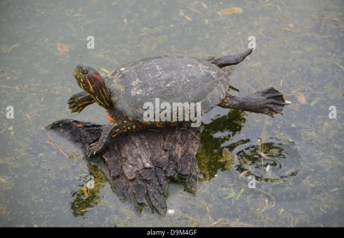 Image result for images of turtle sunning itself