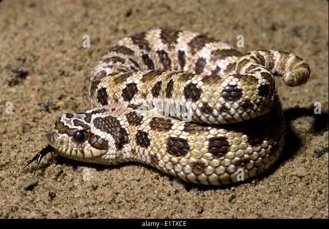Week #1 The Western Hognose Snake – Weekly World Snakes