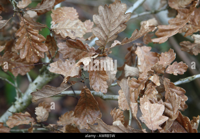 Mulching Oak Leaves Lawn
