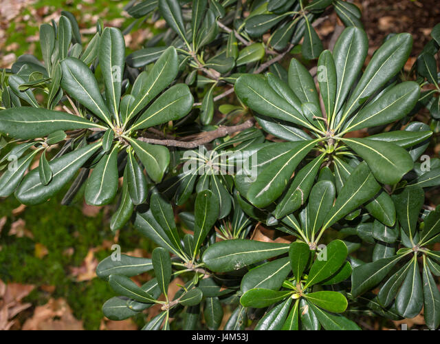 Pittosporum Tobira Stock Photos Pittosporum Tobira Stock Images