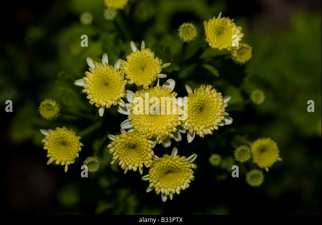 Small White Chrysanthemum Flower Stock Photos Amp Small